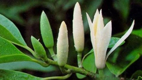 有名な花に関連した楽曲