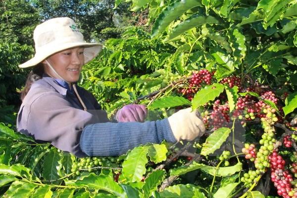 บราซิลนำเข้ากาแฟโรบัสต้าจากเวียดนาม