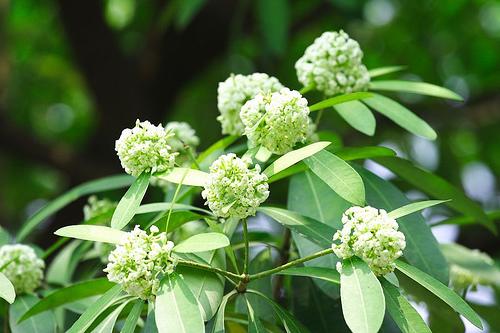 Autumn milk flower - Dinh Manh Ninh