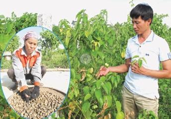 「インカの豆」で成功した農民ド・タン・コアさん