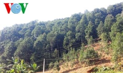 イエンバイ省におけるシナモン栽培