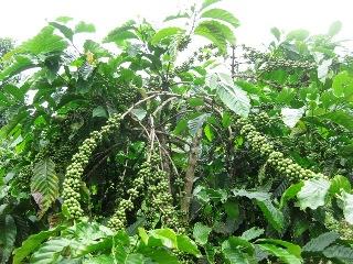 ダクラク省における持続可能なコーヒー生産地の発展