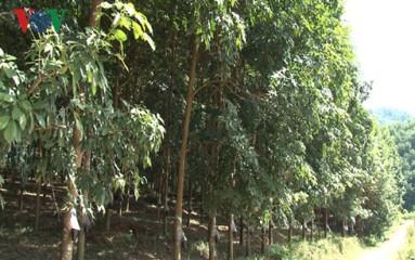 デェンビエン省ゴムの木育てによる貧困解消