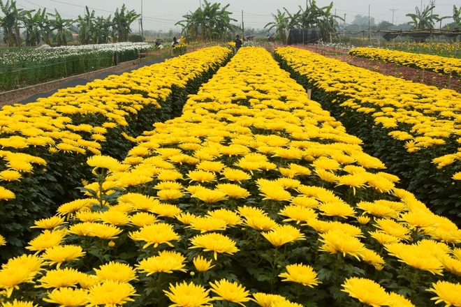 Tay Tuu flower village on the days before Tet