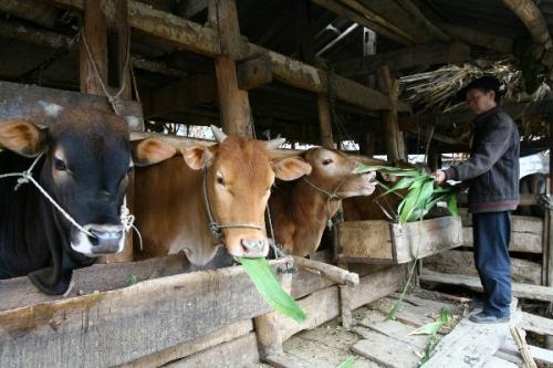 Raising cows in Ha Giang Karst Plateau