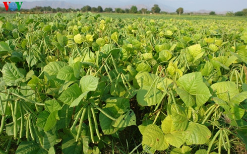 Ninh Thuan restructures crops to fight droughts