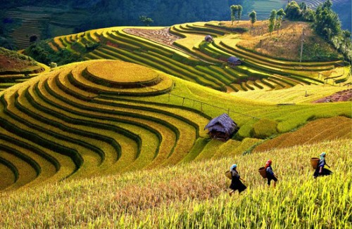 Intensive farming on terraced fields in Mu Cang Chai
