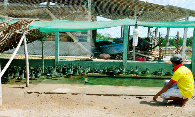 Mekong Delta: sea duck farming to adapt to climate change