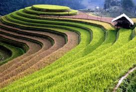 イエンバイ省、ムカンチャイ県の棚田での米作り