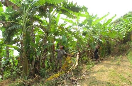 ライチョウ省のバナナ栽培