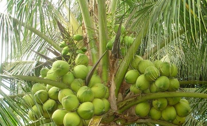 槟知省鲜可可椰子价格攀升