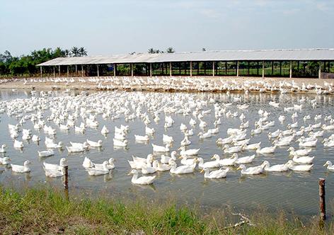 Änderung landwirtschaftlicher Produktion durch Förderung der Viehzucht im Mekong-Delta