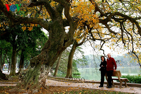 The ancient lecythidaceae trees by Hoan Kiem lake are shedding their leaves