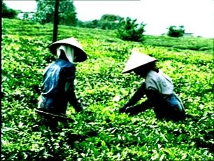 Vietnam develops a brand for its tea
