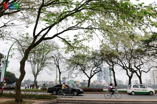 Hanoi adorned with white blossoms