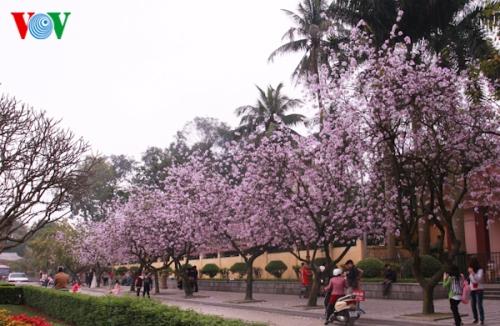 Hanoi turns blue purple