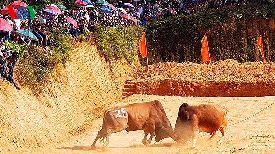 Ox fighting at Khau Vai love market festival