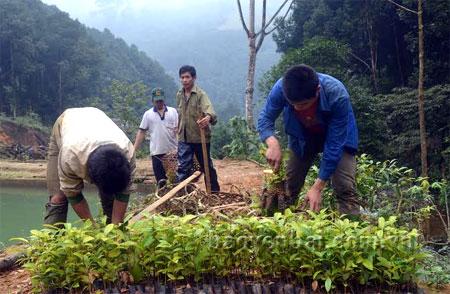 Plantación forestal, nuevo negocio fructífero de pobladores de Yen Bai