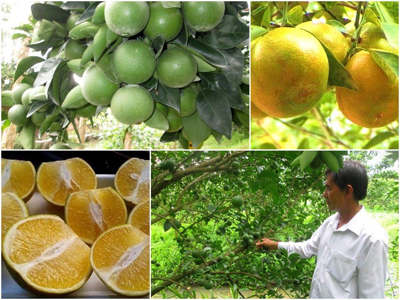Agricultores de Hau Giang prosperan gracias al cultivo de naranja