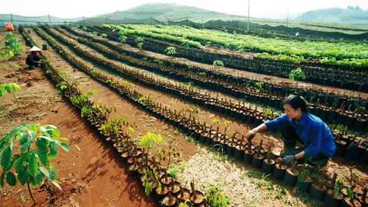 Cultivo de caucho, solución económica para superar pobreza en Dien Bien