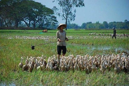 Daerah Dataran Rendah Sungai Mekong melakukan penggeseran produksi pertanian menurut arah mengembangkan peternakan