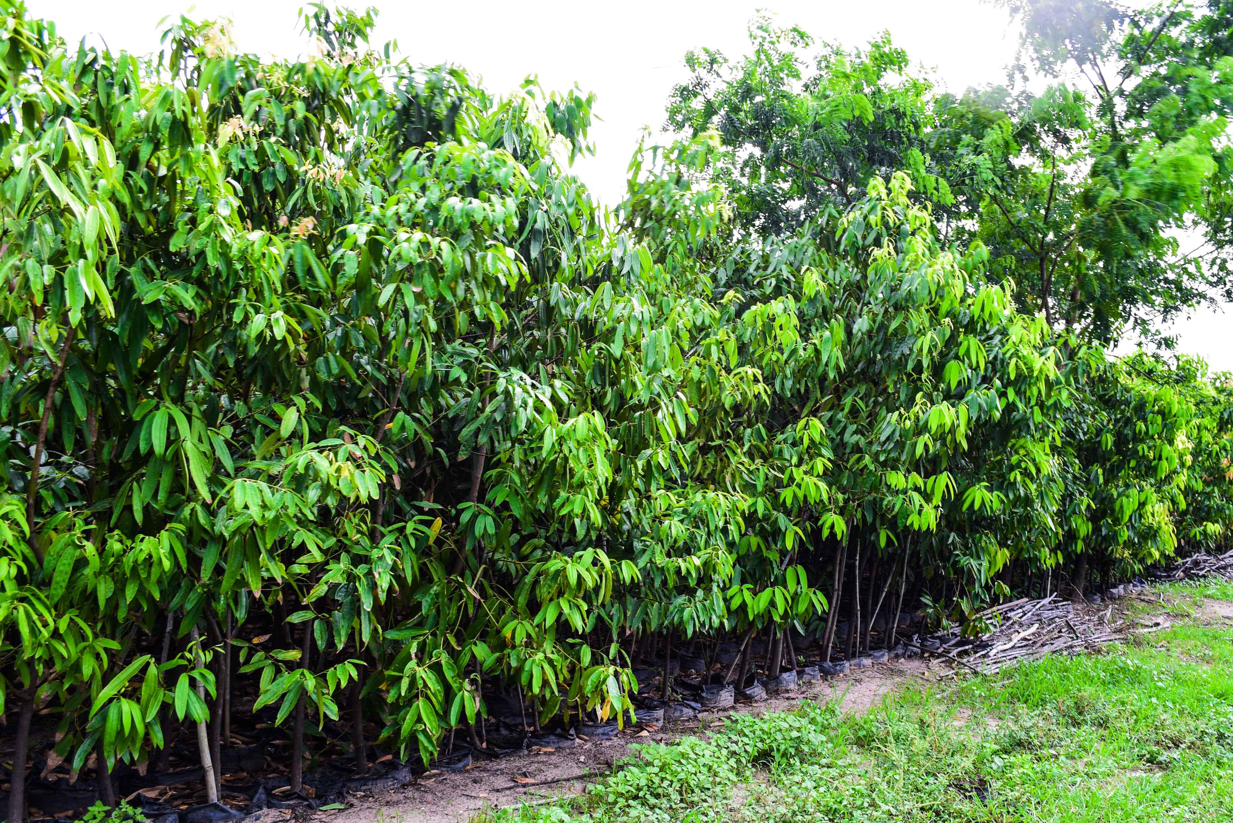 Kehidupan warga di daerah tananam pohon kayu  manis yang cukup sandang-cukup pangan