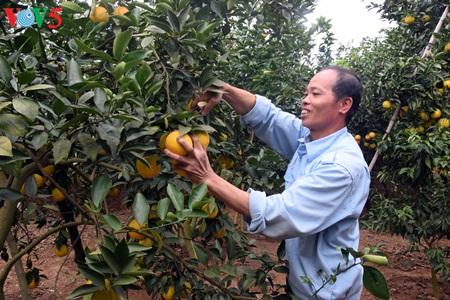 Keindahan taman buah jeruk di kabupten Luc Ngan, propinsi Bac Giang