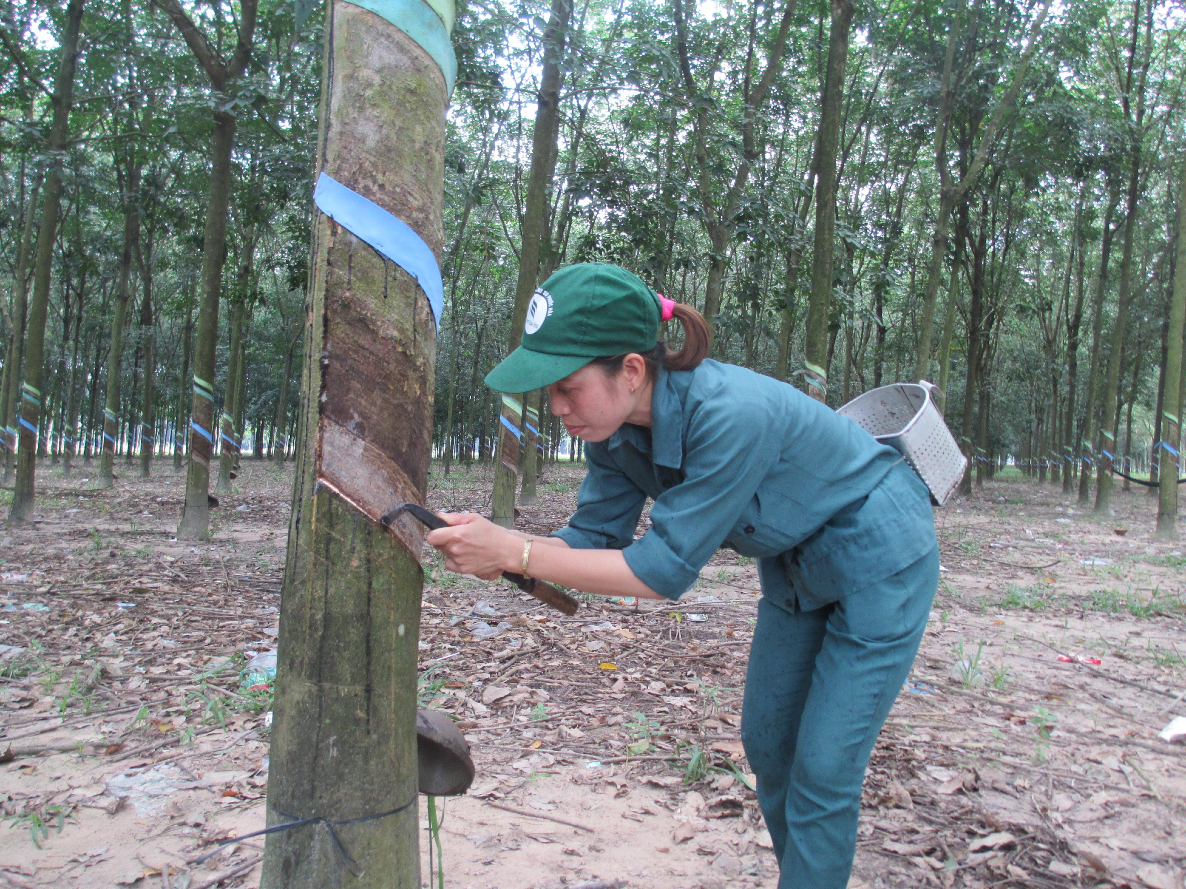 Propinsi Dien Bien mengurangi kemiskinan dari pohon karet