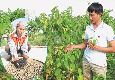 靠美藤果种植致富的农民杜成科