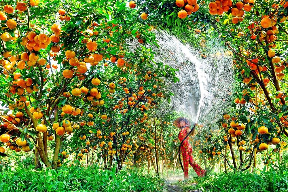 美丽的同塔省来容县橘子园