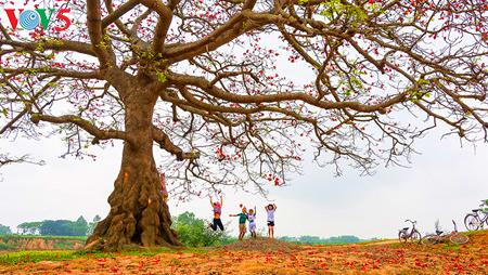 งิ้วแดงบานสะพรั่งในเขตชนบทภาคเหนือเวียดนาม