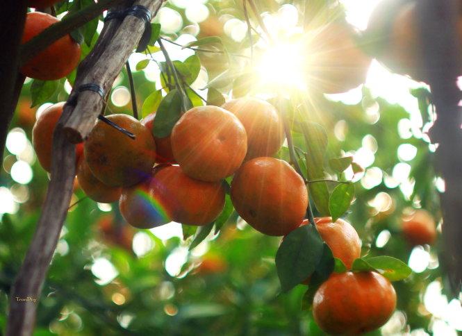 Vẻ đẹp vườn quýt Lai Vung, Đồng Tháp