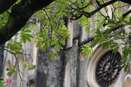 ดอกสัตบรรณยามฤดูไม้ผลัดใบในฮานอย