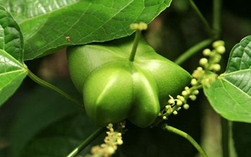เกษตรกรโด๋แถ่งควาสร้างฐานะจากการปลูกต้นถั่วดาวอินคา