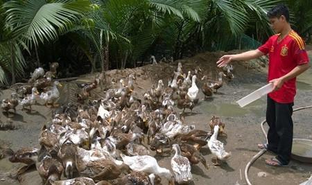 เขตที่ราบลุ่มแม่น้ำโขงปรับปรุงโครงสร้างการเกษตรตามแนวทางการพัฒนาปศุสัตว์