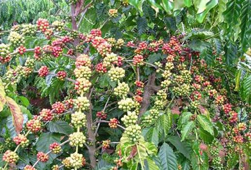 การพัฒนาเขตปลูกกาแฟอย่างยั่งยืนในจังหวัดดั๊กลัก