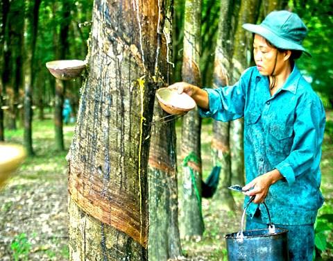 จังหวัดเดียนเบียนแก้ปัญหาความยากจนด้วยการปลูกยางพารา