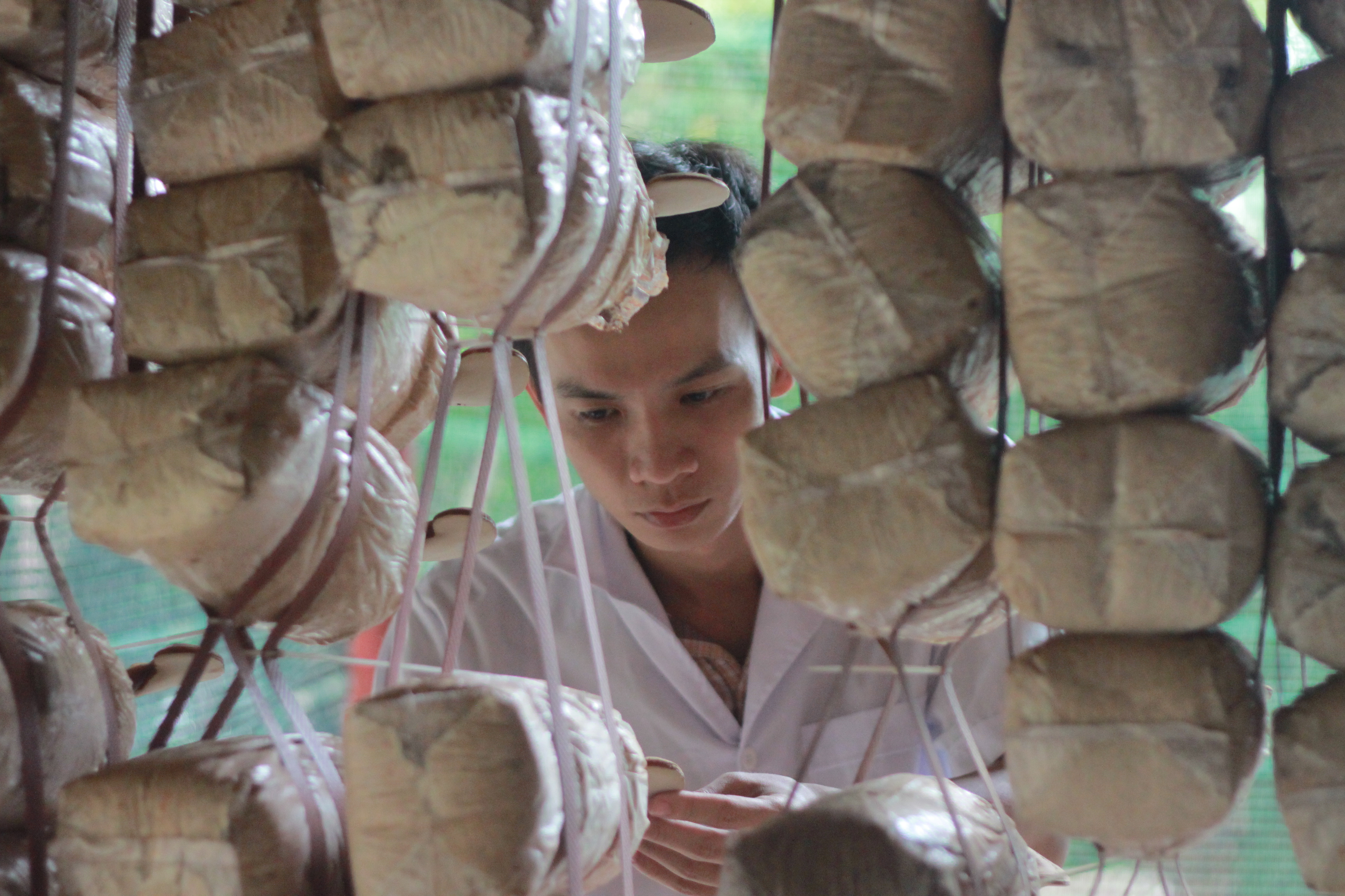 Ngo Kim Lai, the first person to grow caterpillar fungus in Vietnam