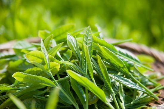 VietGap-based tea production in Tuyen Quang
