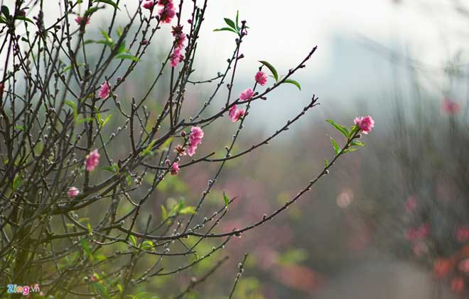 Peach trees bloom early at Nhat Tan flower village