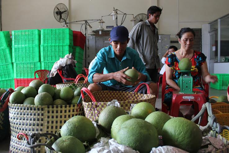 Growing green-skin grapefruits helps build new rural areas in Ben Tre