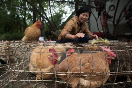 世卫组织:H7N9禽流感病毒出现变异