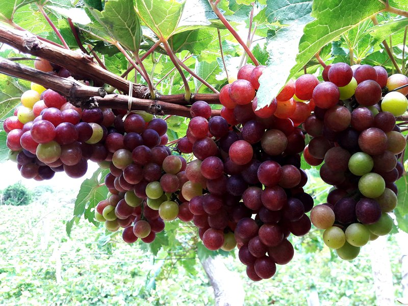 Grapes, wine and cuisine fair opens in Ninh Thuan