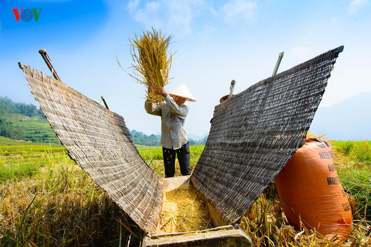 Сезон сбора урожая риса в провинции Туенкуанг