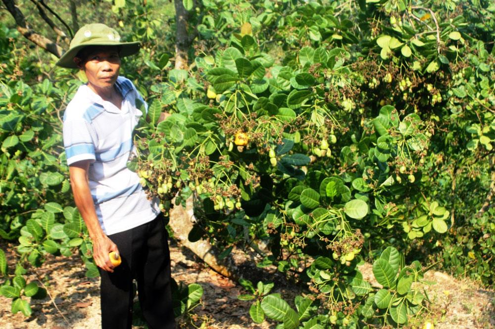 Binh Phuoc : développement durable de la filière noix de cajou