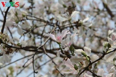 La fête des fleurs de bauhinie de Dien Bien