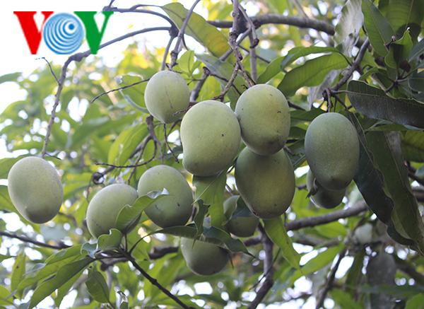"""Bauern in Son La erhalten die Obstsorte """"Mango-Yen Chau"""""""