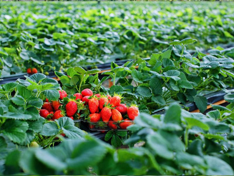 Visiting strawberry farms in Da Lat
