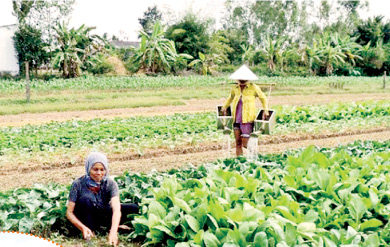 Agricultural restructuring helps Khmer people boost economic development