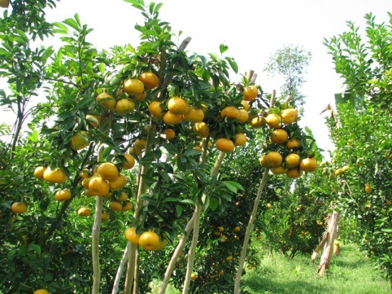 Crop restructuring reduces poverty in Bac Kan